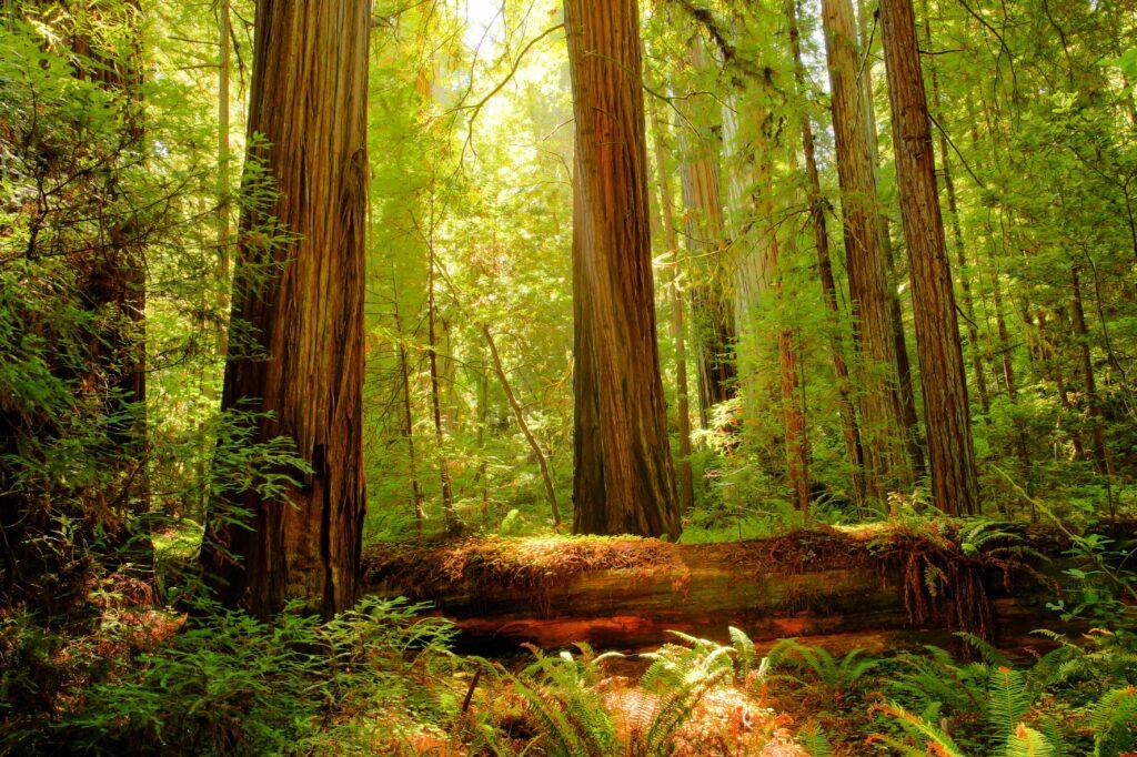 Redwood National Park i Kalifornien.