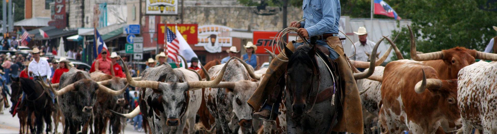 Texas Longhorn i Bandera, Texas.
